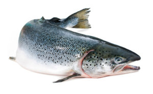 atlantic-salmon1